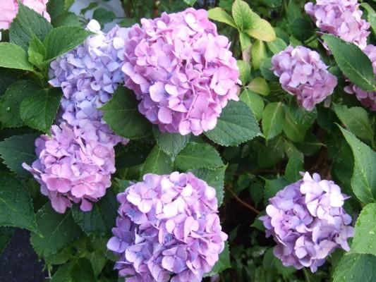 薄紫&ピンクのアジサイ
