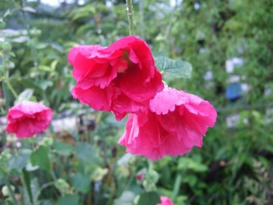 桂荘と北向き観音の通り道に咲く赤い花