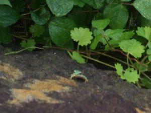 岩の壁でじっとしがみつくアマガエル