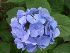 鮮やかなブルーのアジサイ