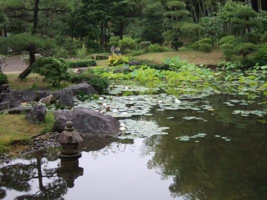 日本庭園の池 スイレン(睡蓮)