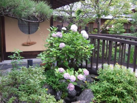 茶室の前に咲く、薄紫のアジサイの群れ