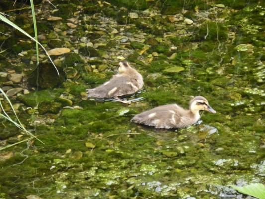 外で泳ぐ雛たち