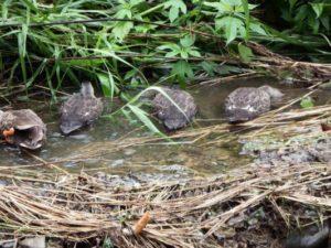 近所の柳瀬川にいる鴨の家族