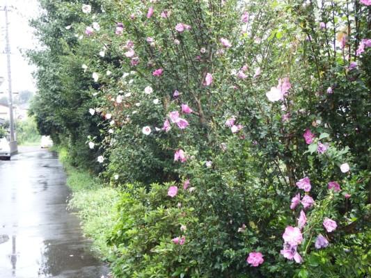清流苑の柳瀬川沿いの道に咲く沢山のムクゲ