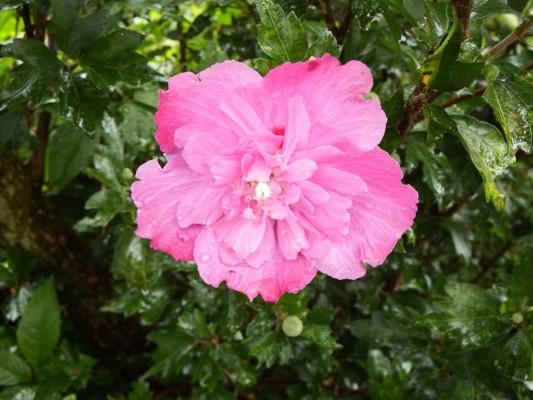 柳瀬川沿いに咲くピンクのムクゲ