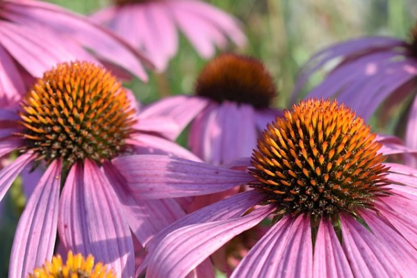 echinacea photo