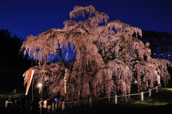 夜のライトアップされた国の天然記念物である滝桜