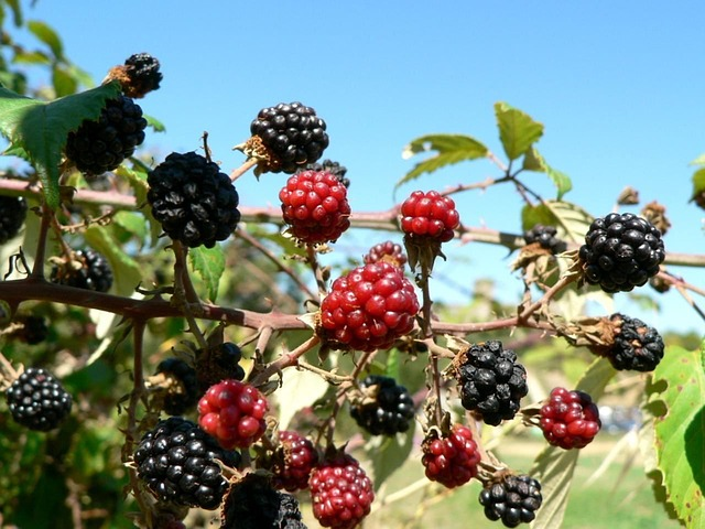 mulberry photo