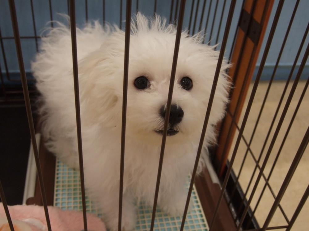 カメラへじっと向いてくれる愛くるしいビションフリーゼの子犬。一見マルチーズやトイプードルようですが、はっきりした黒い目にふんわり巻き毛が特徴。