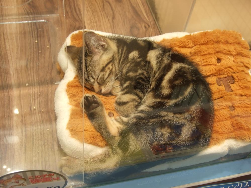 アメショーの子猫。今はぐっすりお昼寝タイム。