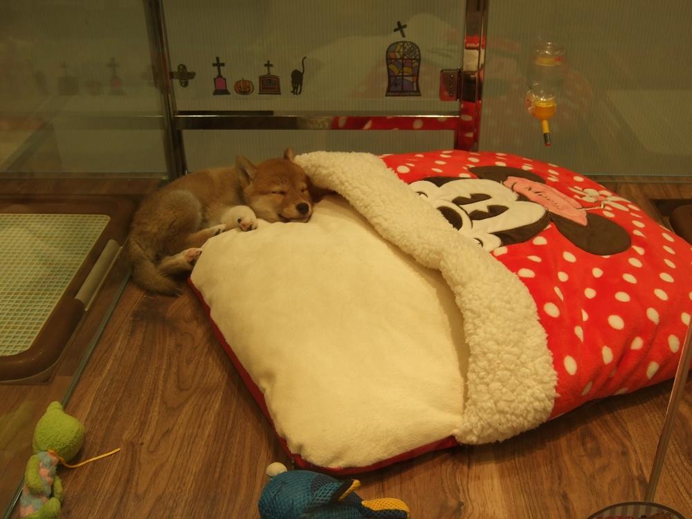 ミニマウスのディズニーキャラクター入りの小さな布団を用意しているのに中へは入らず、そのままクッションのように眠る子柴犬。