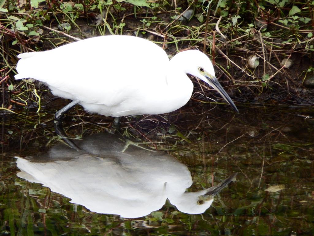水の鏡に映る真っ白なコサギ