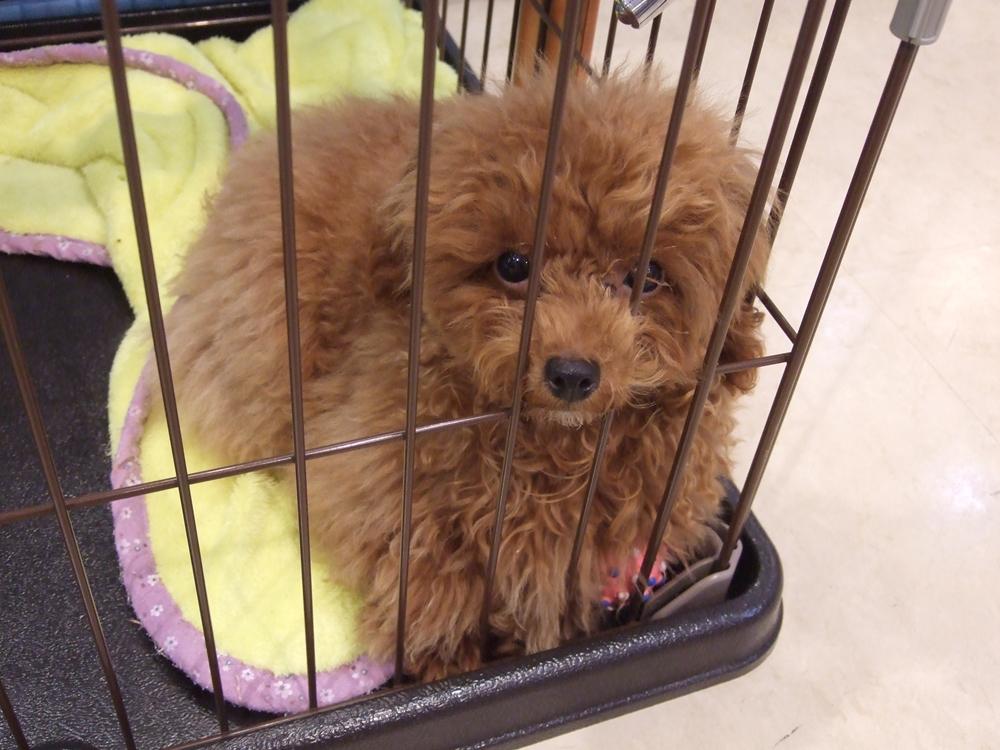人気のトイプードルの子犬。この子もカメラに興味を示してくれました。