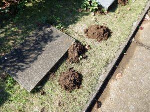 墓地の土にもぐらが掘った跡が沢山ありました。
