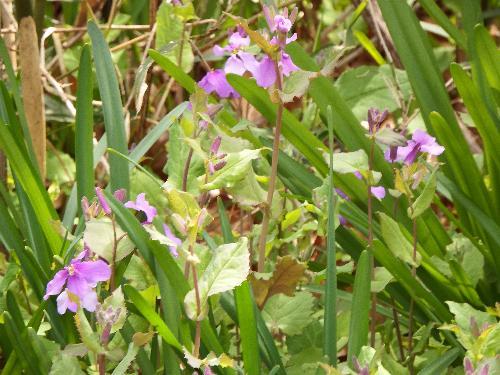 せせらぎ公園 カタクリ C地区付近に咲く紫の花