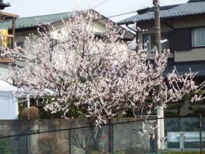 空堀川沿い河津桜