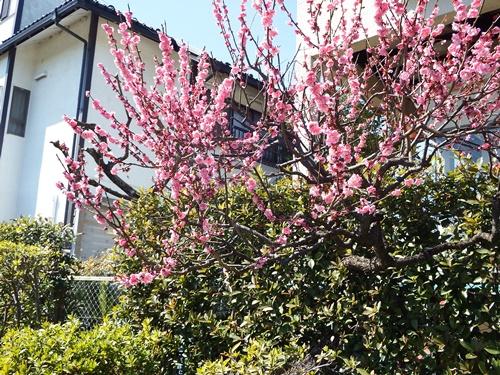 鮮やかなピンクの梅