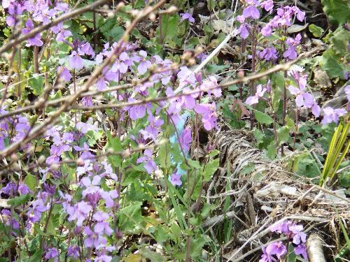 柳瀬川のそばに咲く紫の花