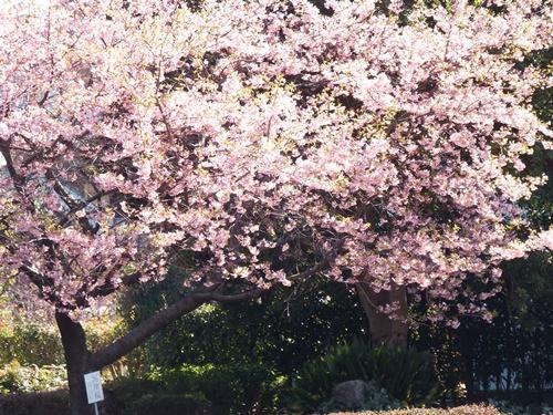 柳瀬川沿い 河津桜
