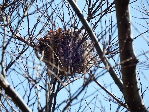 柳瀬川沿いにで見つけた野鳥の巣?