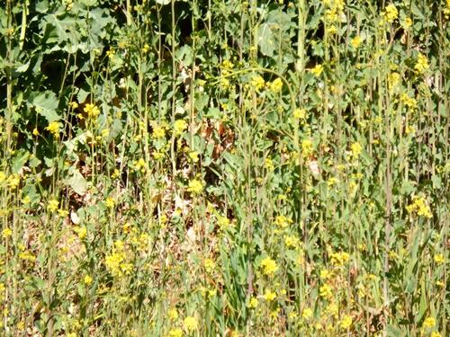 清流苑付近の土手に咲く黄色い菜の花