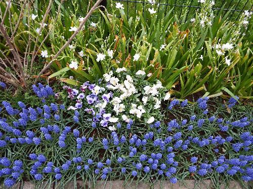 梅坂橋の脇に咲く真っ青な花 ムスカリ