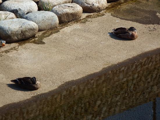 人工堤防の下で丸まっている二羽のカモ