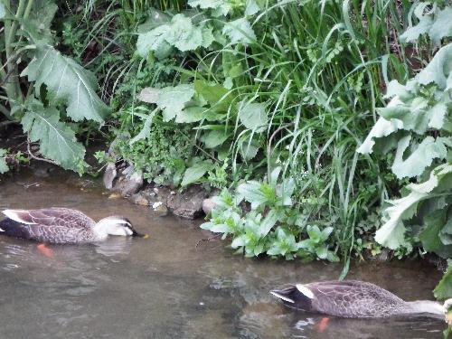柳瀬川(清瀬と所沢の堺)にいるカルガモのつがい