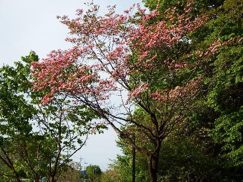 清瀬の森前に咲くハナミズキ