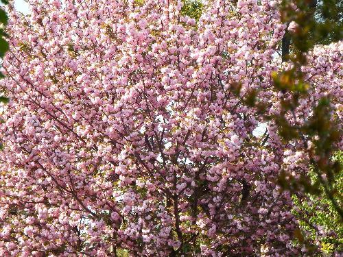 別の農家のお庭で見事に咲くピンクの桜の一種。