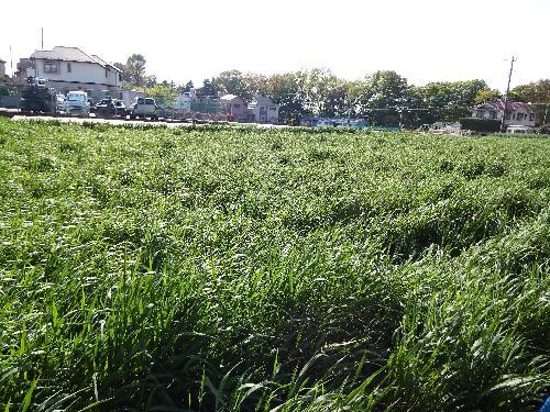 清瀬のニラ畑