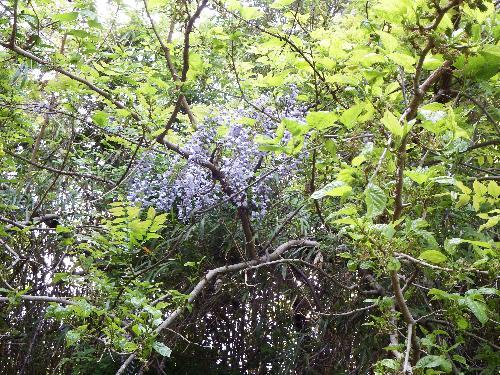 薄紫色に垂れて咲くフジの花