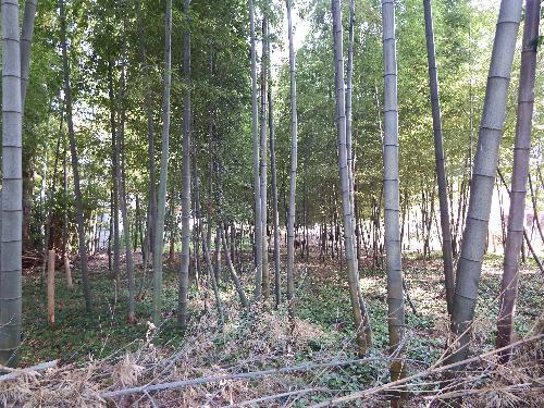 雑木林の中の竹林