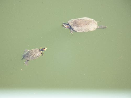 空堀川で泳ぐミドリガメの親子
