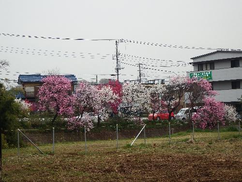 柳瀬川沿い(小金井街道側)に鮮やかに咲く様々な種類の桜