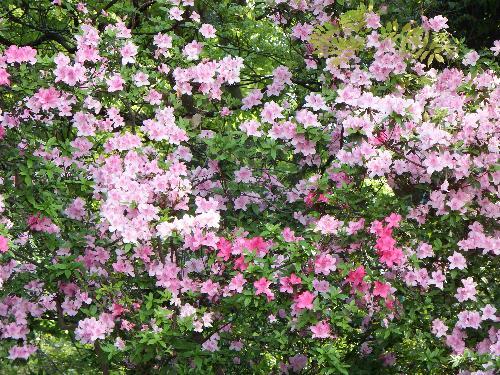 某病院の敷地に咲く色鮮やかなツツジ