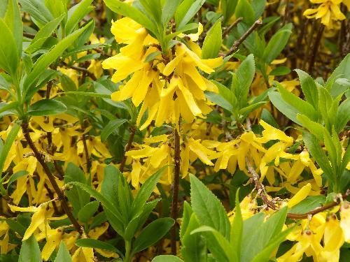 鮮やかな黄色い花 レンギョウ