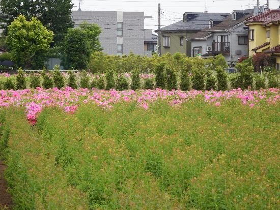 同じく清瀬市野塩付近のキレイな緑とピンクのじゅうたん