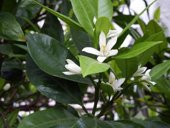 白い花からジャスミンのようないい香り