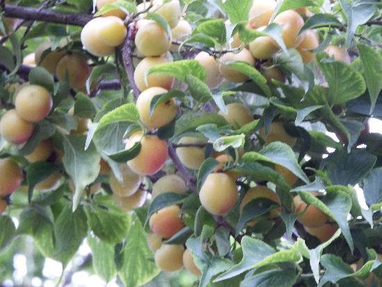 柳瀬川沿い遊歩道の果実が沢山なっている梅の木