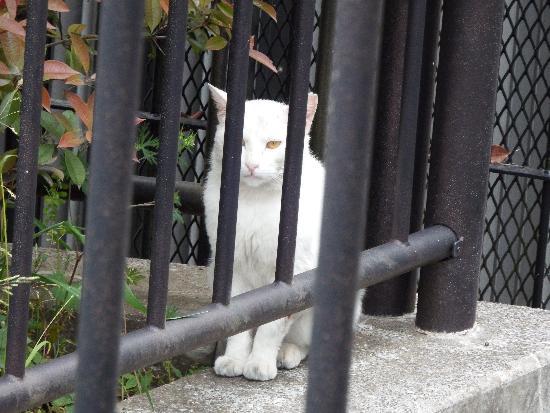 柳瀬川沿い遊歩道の柵の中でじっとしている白い猫