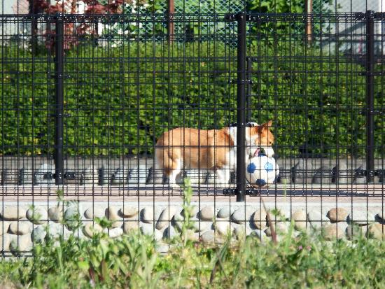 空堀川遊歩道(親水広場)で飼い主とサッカーボールするコーギー犬
