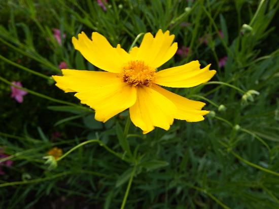 柳瀬川沿い遊歩道で見つけた黄色い花