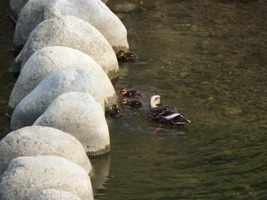 空堀川遊歩道を歩いている途中、カルガモ親子の姿を発見。
