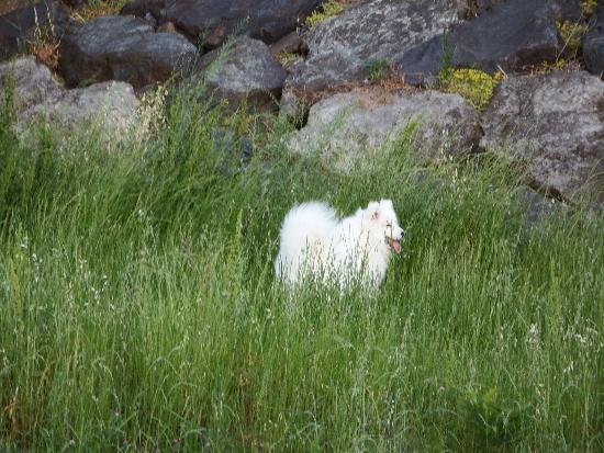 飼い主が連れている真っ白い大型犬