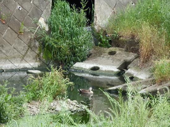 野塩橋手前に少ない水源で泳ぐカルガモ