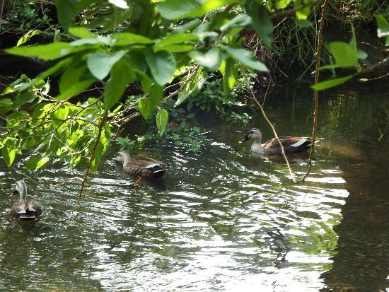 空堀川で泳ぐカルガモ