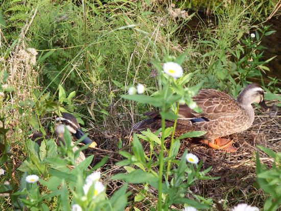 花を観察した後、遊歩道を歩こうとすると、目の前の草の中からガサガサとカルガモの番が現れてびっくりました。