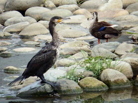 空堀川(くるまや橋付近)で見つけたカワウとカルガモ